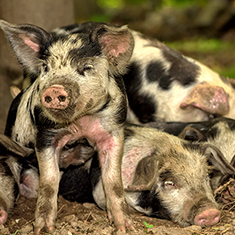 Christian Hill Farm, a group of piglets